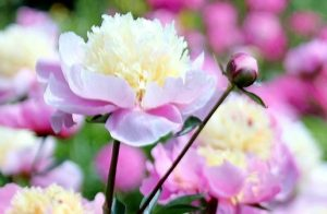 Now Is the Time to Start Thinking About Peonies!