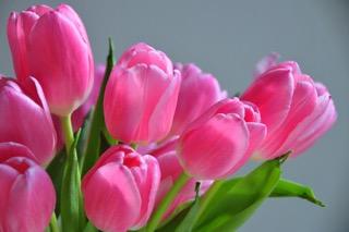 Tulips KimDeCamp GCofLexington